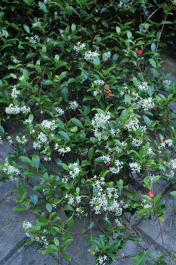 オキナワテイカカズラ20200513-1