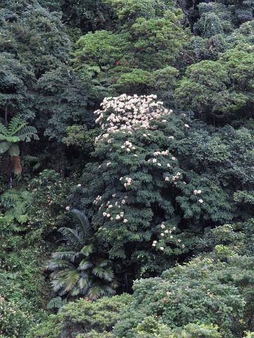 ヤンバルアワブキ20200607-1