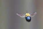 クマバチ02