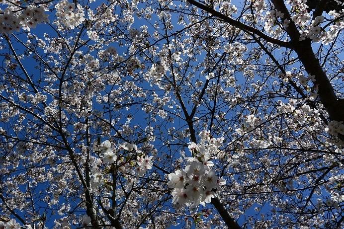 20桜満開_5392a