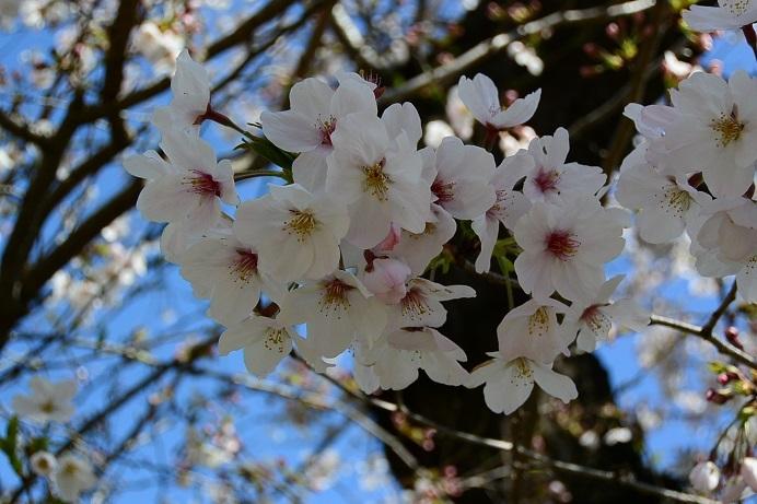 20桜満開up_5398a