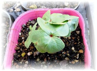 綿の芽4-3