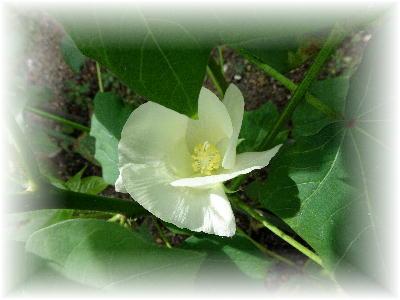 綿の花9-1