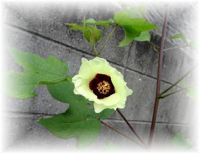綿の花10-1