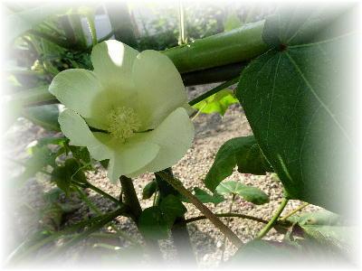 綿の花10-2