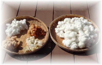 綿の収穫5