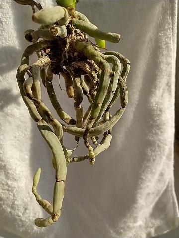 マイクロ胡蝶蘭 冬 育て方