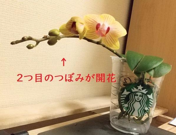 マイクロ胡蝶蘭の育て方 植え替え