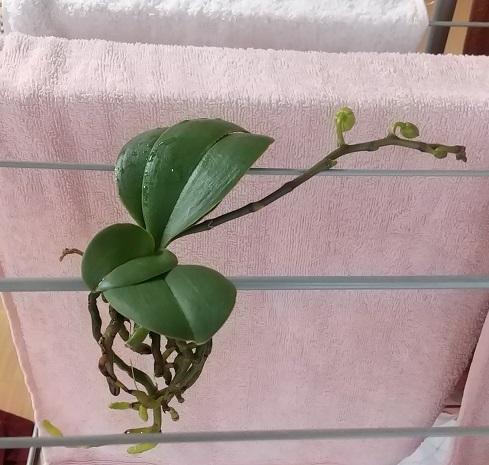 胡蝶蘭 育て方 花