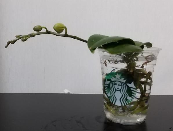 マイクロ胡蝶蘭 育て方 花 スターバックス 再利用