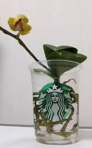 マイクロ胡蝶蘭 育て方 花