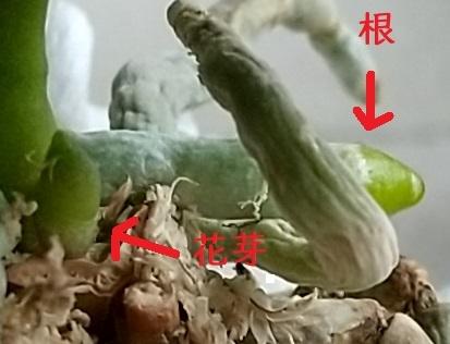 マイクロ胡蝶蘭 花芽 11月