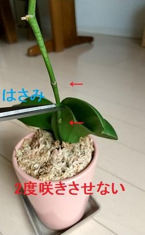 マイクロ胡蝶蘭 切り戻し 茎