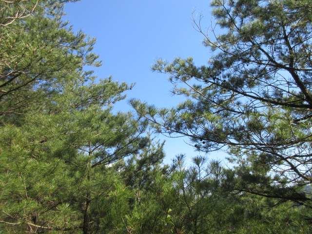 IMG0065JPG山頂付近の松林
