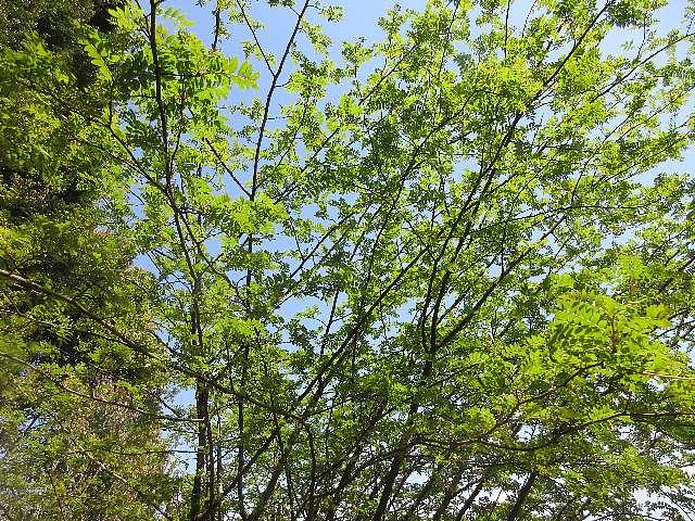 IMG0056JPG新緑の山椒の木