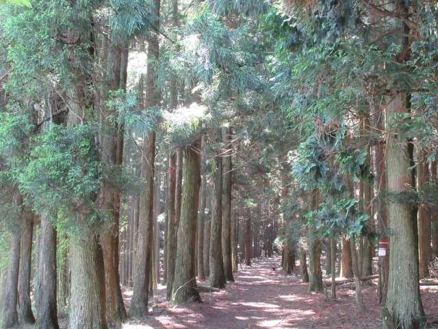 IMG0010JPG杉の自然歩道