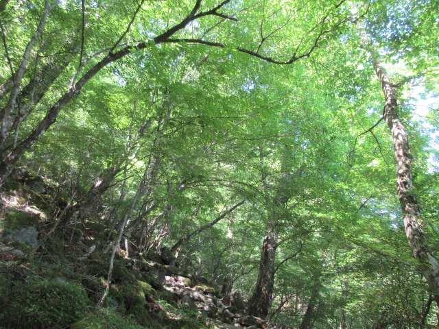 IMG0019JPGシオジの林