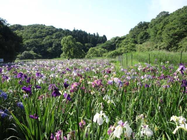 IMG0020JPG神楽女湖の花菖蒲 4