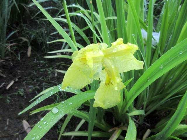 IMG0038JPG黄色の花菖蒲 7
