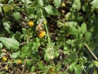 20201101 ミツバチ1