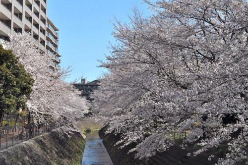 01a 600 富士見市桜満開01