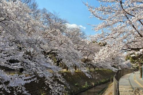 01d 600 富士見市桜満開04