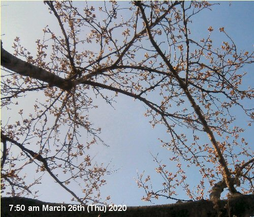 01f 500 200326 CherryBlossom