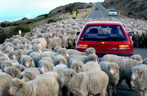 03a 600 sheep jam