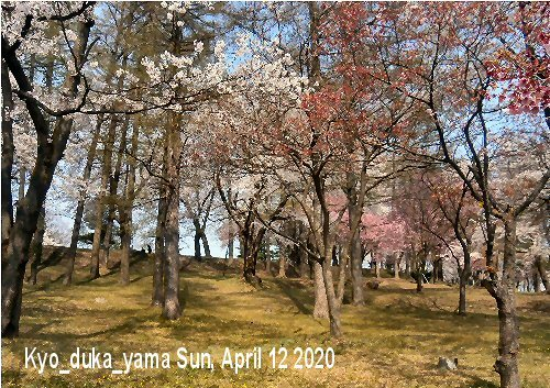 01b 500 経塚山桜満開02