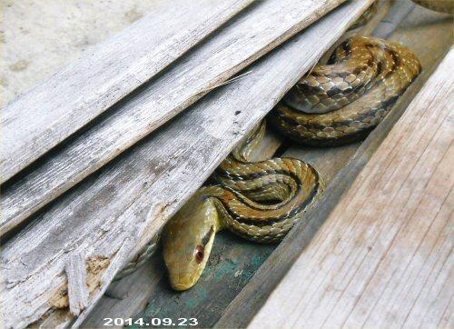 01f 500 20140923_シマヘビのしまちゃん