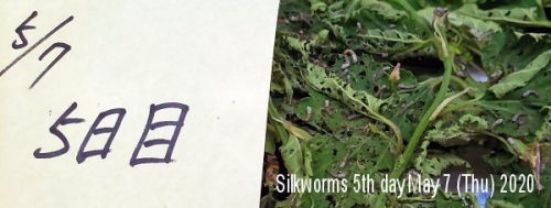 01c 600 20200507 silkworms 5th day