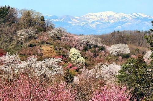 03c 600 山桜 福島
