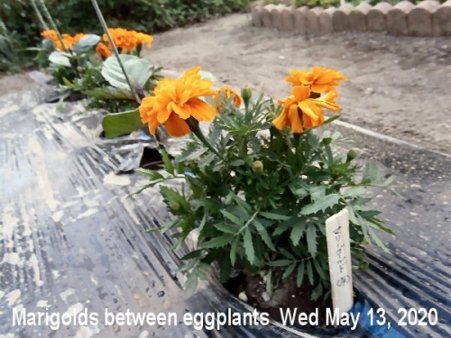 01b 600 200513 Marigold Eggplant
