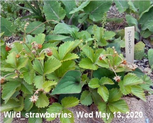 01c 600 200513 wild_strawberry