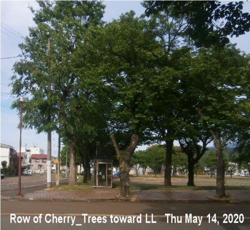 01g 600 200514 Row of cherry_trees Toward LL