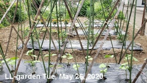 01a 600 20200526_LL菜園