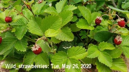 01e 600 20200526_wild_strawberries