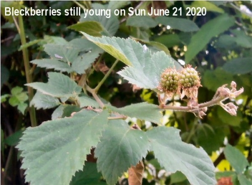 01h 600 young Black berries