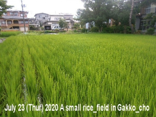 01ab 600 20200723 a rice field in Gakko_cho