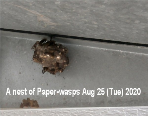 01e 600 paper_wasps nest