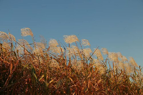 09b autum scenery silver grass