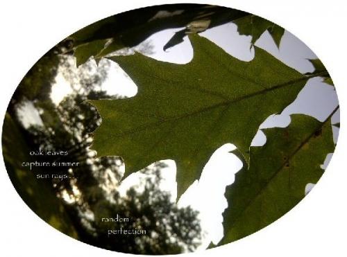 04a 600 20140805 (火) oak leaves