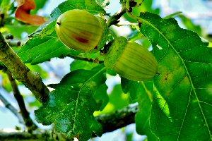 04b 300 oak acorns