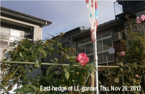 01b 600 20201126 Roses_hedge of LL_garden