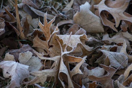 09a 500 frosty leaves
