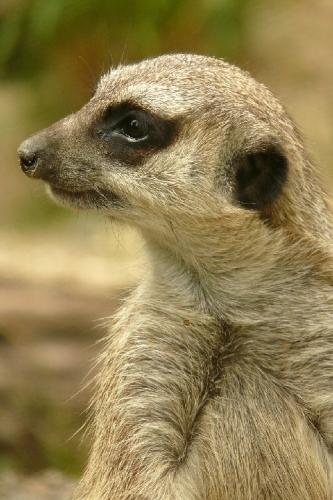 04a 500 meerkat keep an eye out