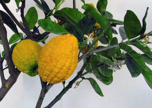 03ab 500 Citron