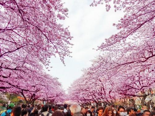 02a 600 Hanami at Ueno Park