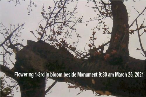 01ba 700 20210325 三分咲きbeside 大正紀念石碑横