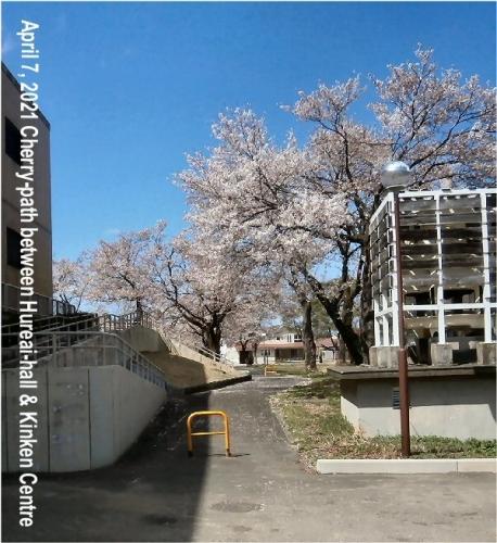 01ae 600 20210407 Cherry_path between Fureai_hall Kinken Center